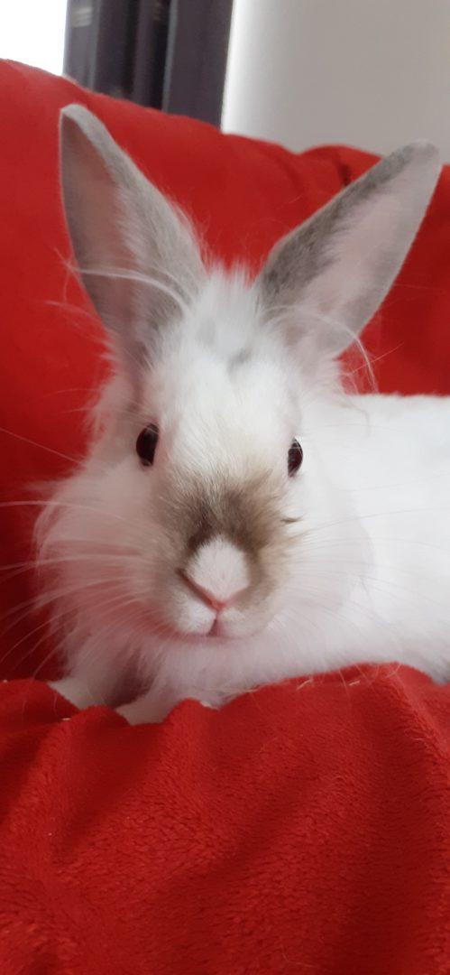 Swap (Réservé)- Chamallow (Adopté) – Loki (Réservé)  ♂ lapins – FA