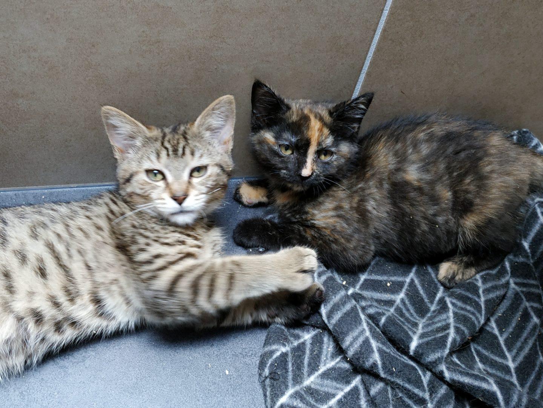 Kenya & Kalipso (visite)♀ chatons – FA