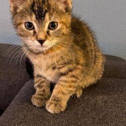 Lilas ♀ (en attente de visite) chaton – FA