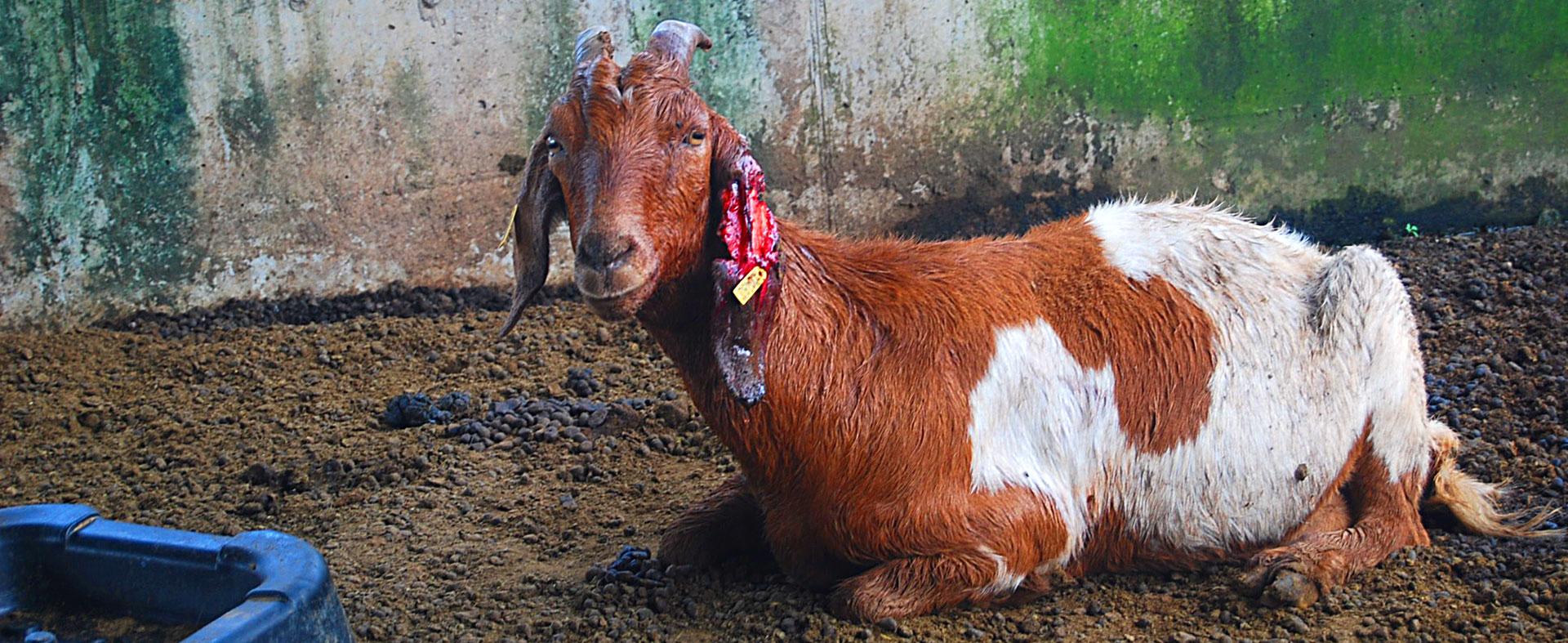 Chèvre-oreille-dechiree-1920-787px