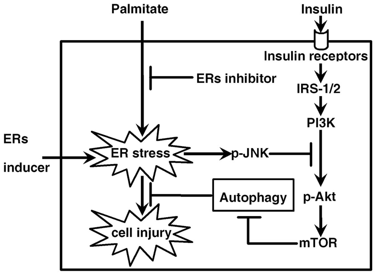 Palmitate Induces Autophagy In Pancreatic Cells Via Endoplasmic Reticulum Stress And Its