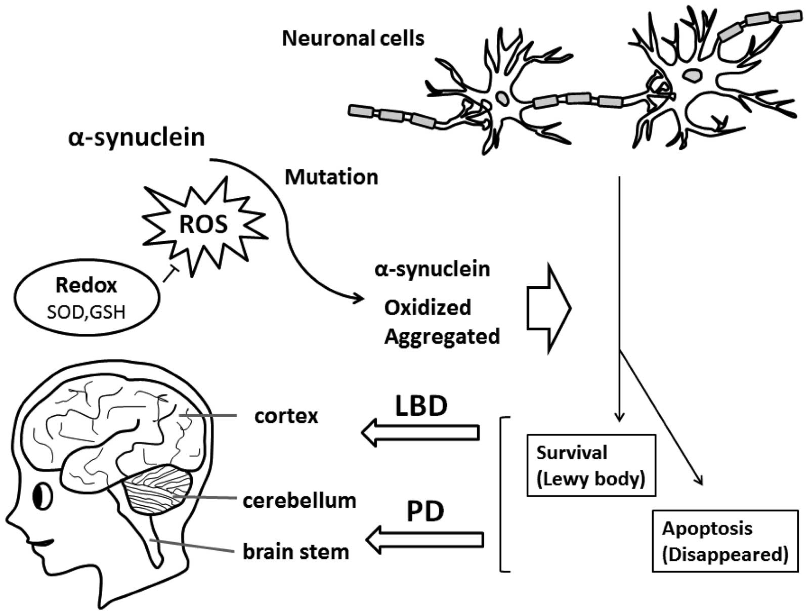 Function Of Synuclein And Pink1 In Lewy Body Dementia