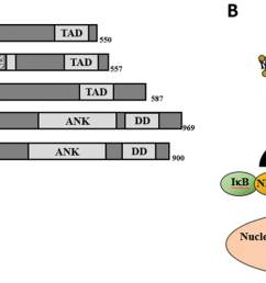 a schematic diagram of nf b subunits p50 and p52 are not shown and they are derived from p105 and p100 respectively boxes represent different protein  [ 2008 x 950 Pixel ]