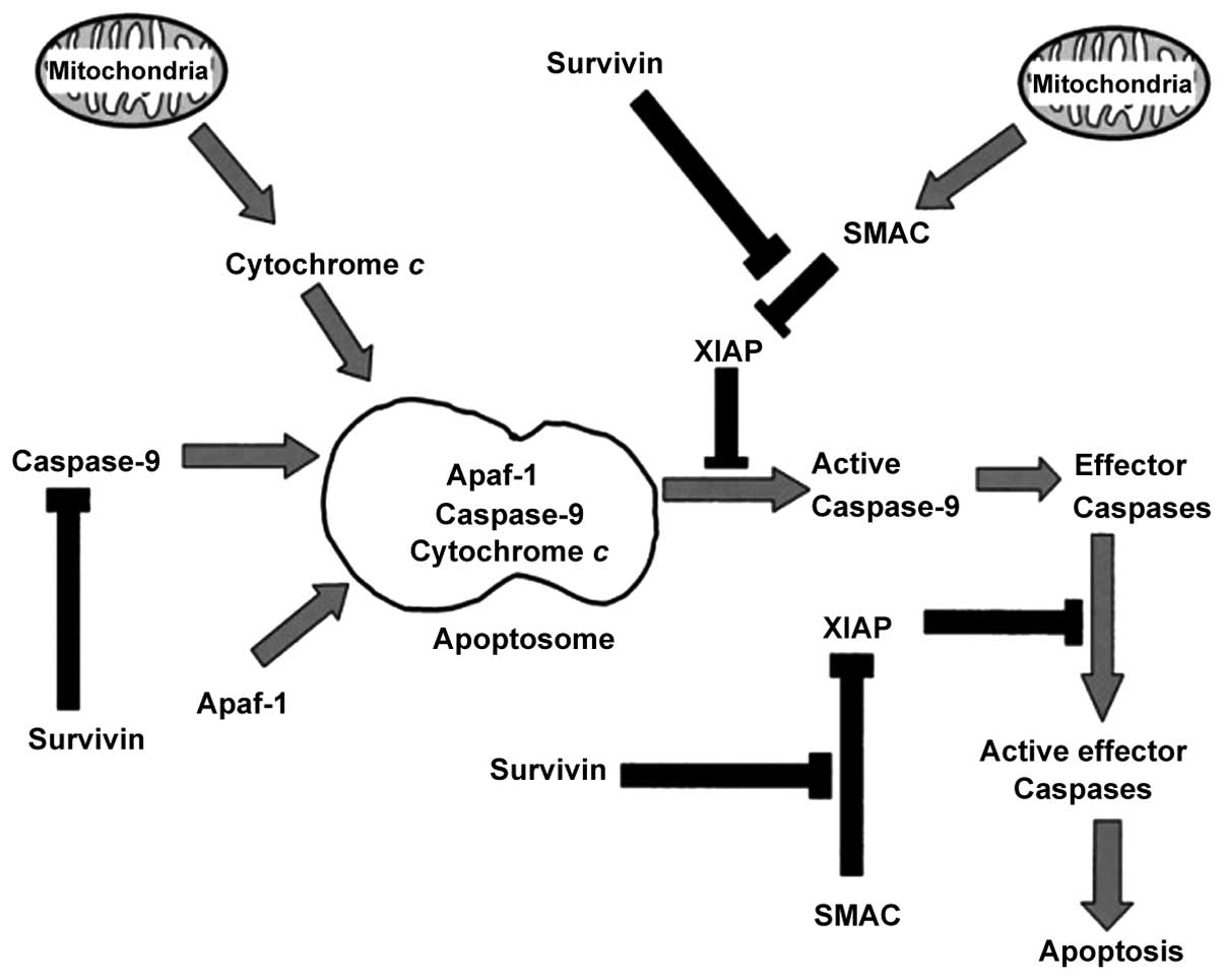 Effect Of Lentivirus Mediated Survivin Transfection On The