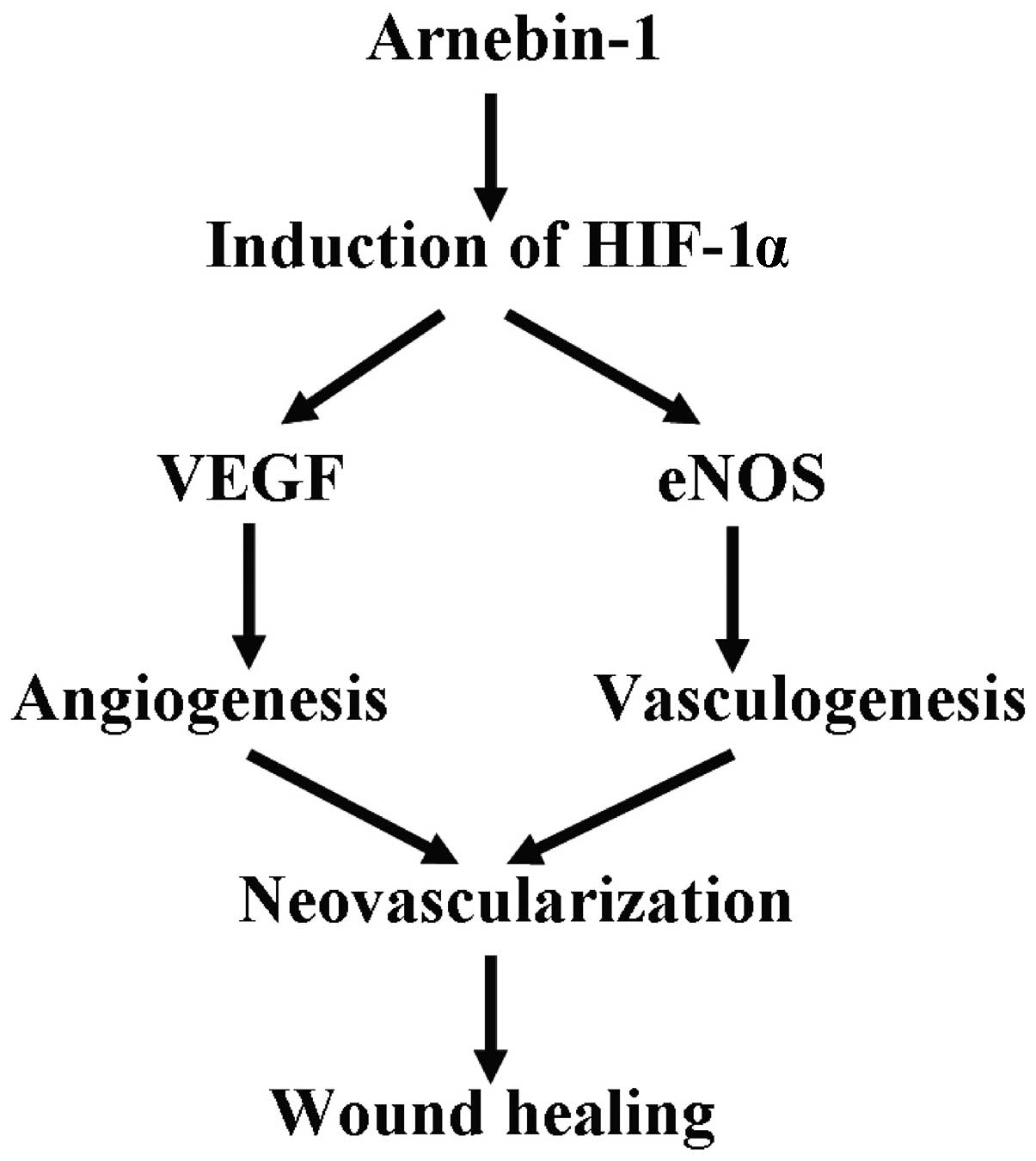 hight resolution of schematic diagram of the mechanisms through which arnebin 1 promotes vascularization and wound healing arnebin 1 treatment leads to the accumulation of