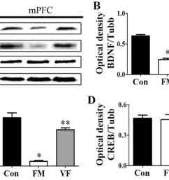 figure 6 effects of vf treatment on the protein expression levels of bdnf and p creb in fm mice n 5 mice group a bdnf p creb and creb levels in the  [ 1654 x 1155 Pixel ]
