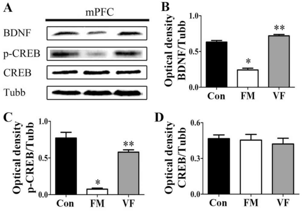medium resolution of figure 6 effects of vf treatment on the protein expression levels of bdnf and p creb in fm mice n 5 mice group a bdnf p creb and creb levels in the