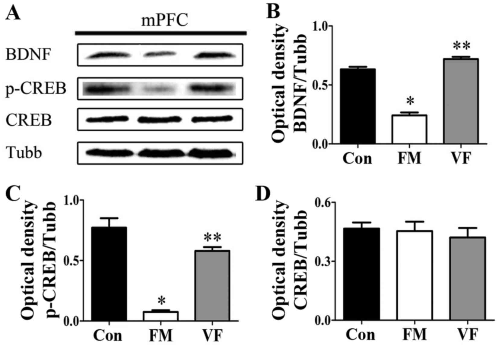 hight resolution of figure 6 effects of vf treatment on the protein expression levels of bdnf and p creb in fm mice n 5 mice group a bdnf p creb and creb levels in the