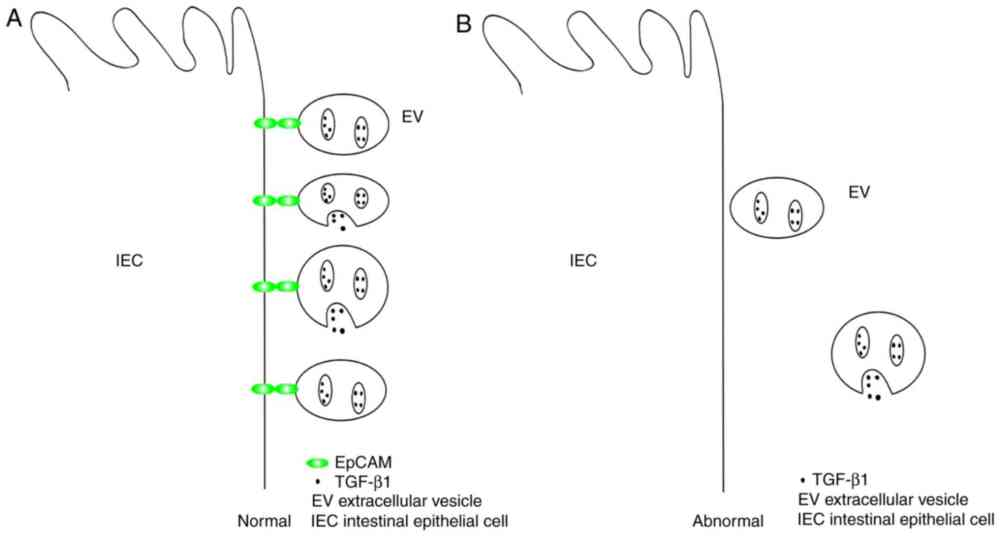 medium resolution of evs extracellular vesicles tgf 1 transforming growth factor 1 iecs intestinal epithelial cells epcam epithelial cell adhesion molecule