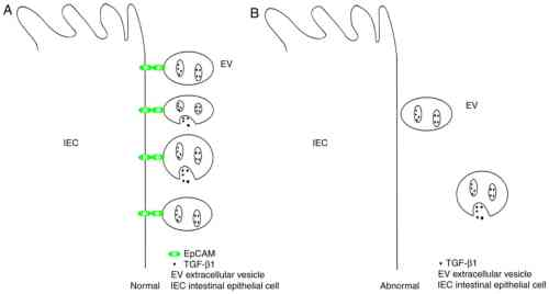 small resolution of evs extracellular vesicles tgf 1 transforming growth factor 1 iecs intestinal epithelial cells epcam epithelial cell adhesion molecule