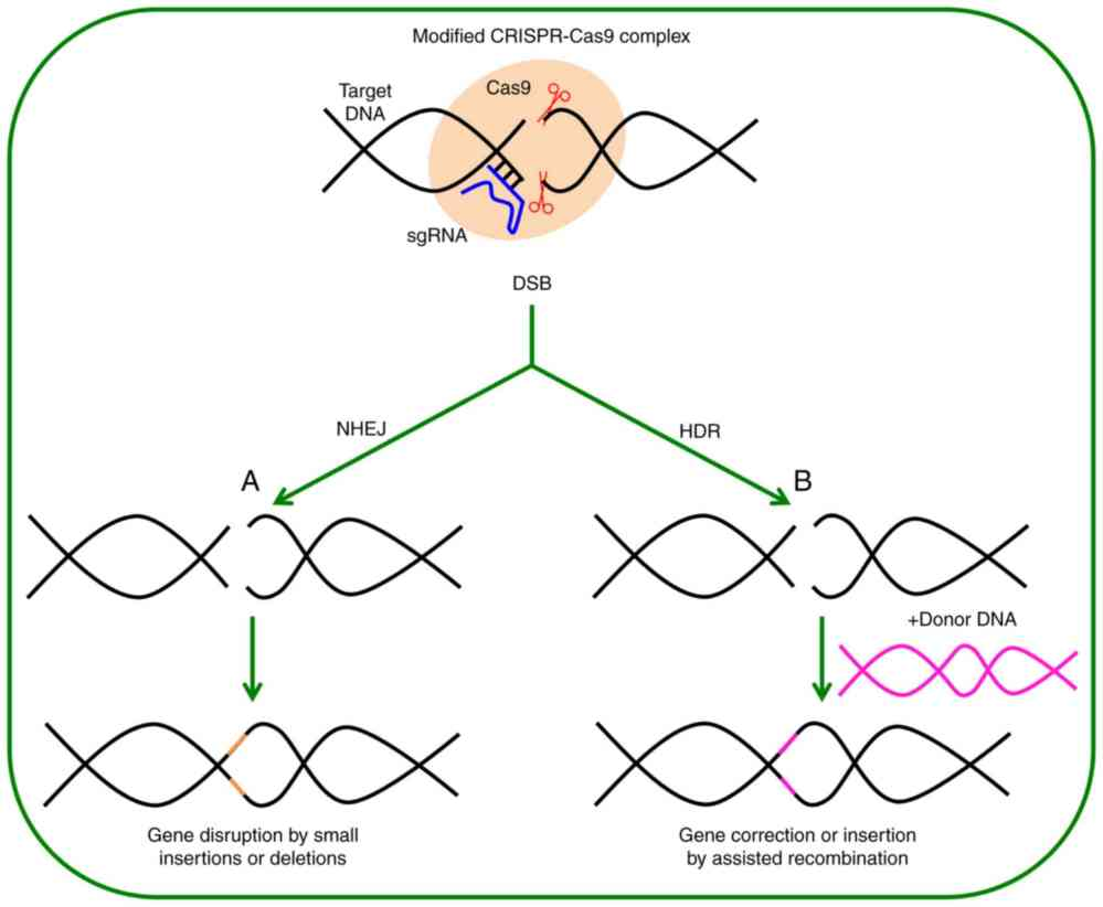 medium resolution of  b if a dna donor with homology in the ends is provided this dna can be inserted to the target site to modify the gene introducing the nucleotides and