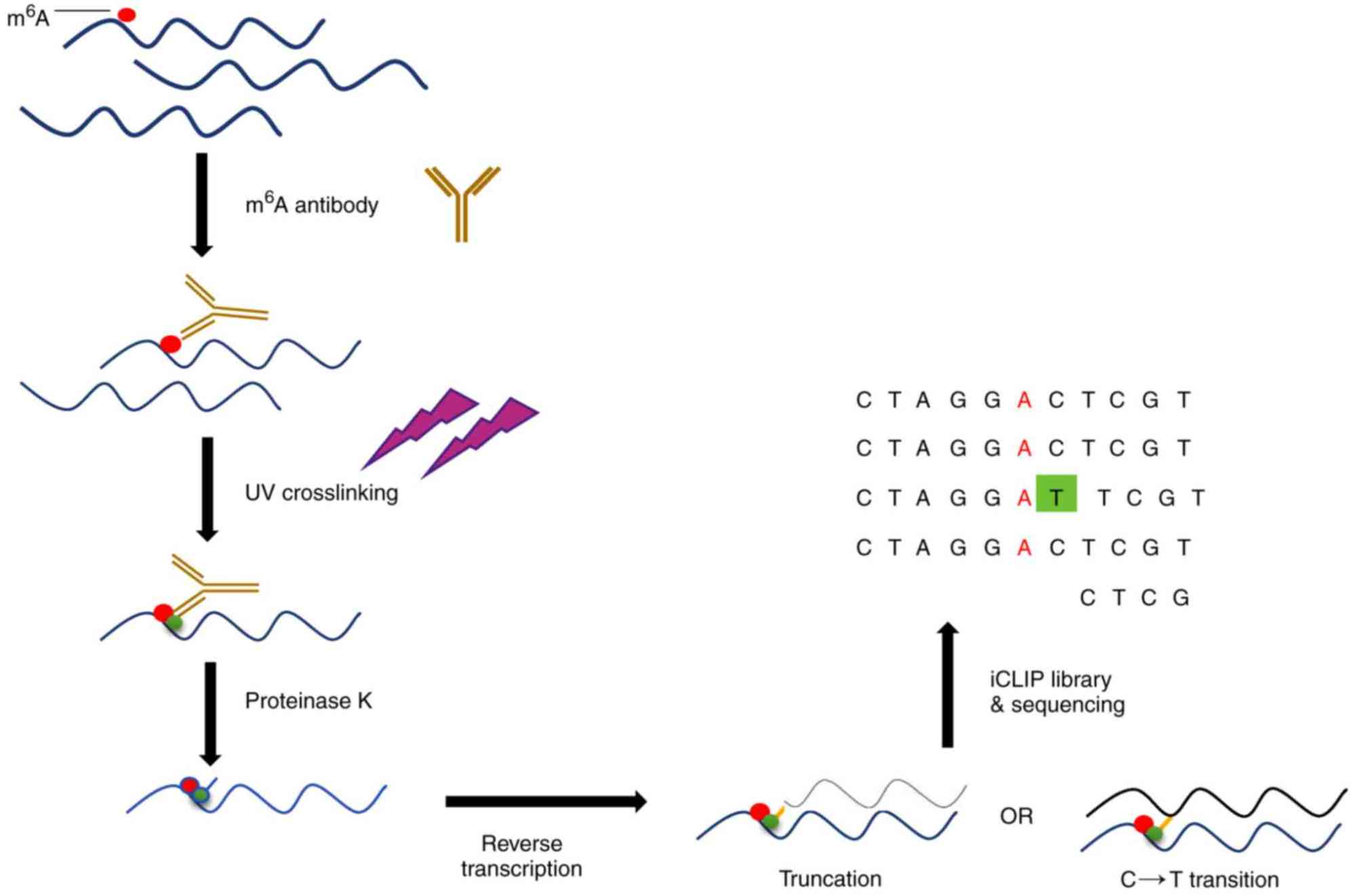 hight resolution of schematic diagram of miclip technology m6a residues can be mapped by generating unique signature mutations with m6a specific antibodies and uv crosslinking