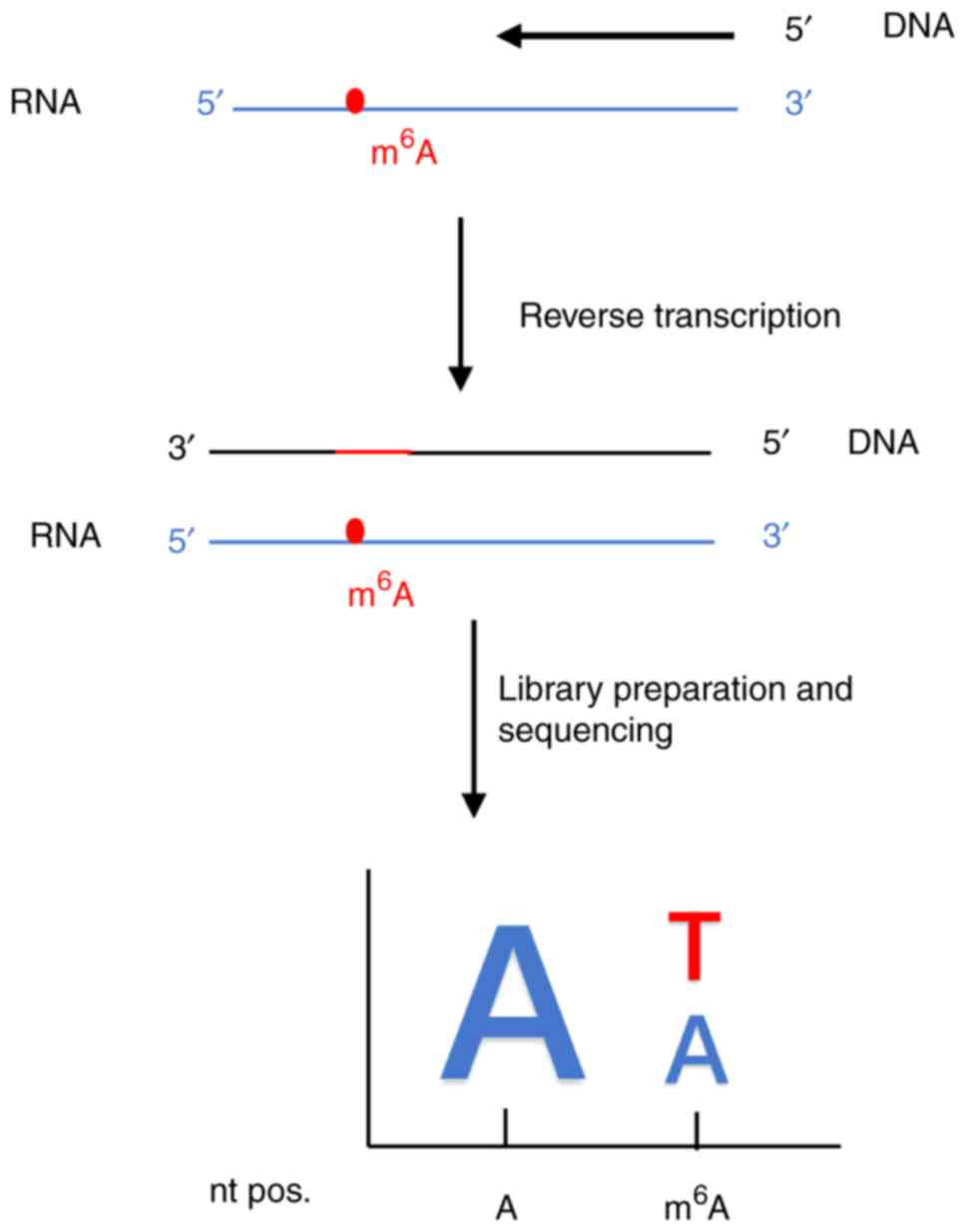 medium resolution of schematic diagram of a dna polymerase for direct m6a sequencing this is based on the reverse transcriptase variants exhibiting rt signatures as a response