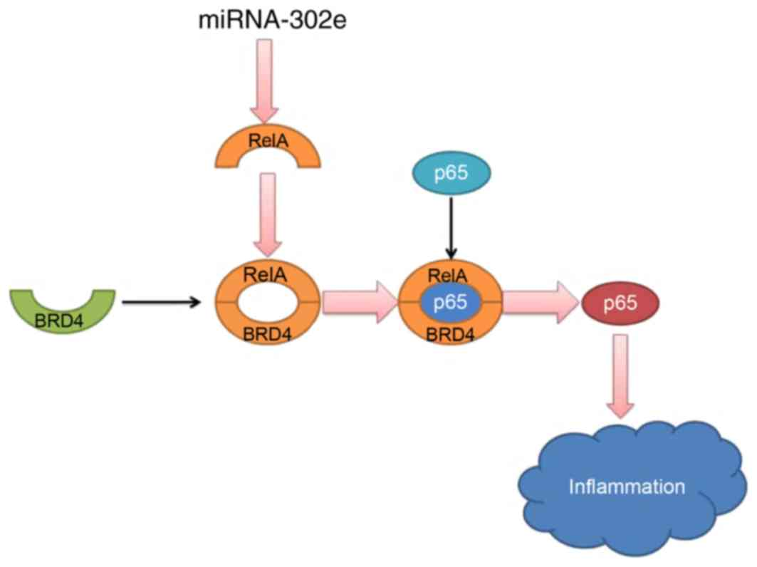 hight resolution of mirna 302e attenuates inflammation in infantile pneumonia though the rela signaling pathway brd4 bromodomain containing protein 4 mirna microrna