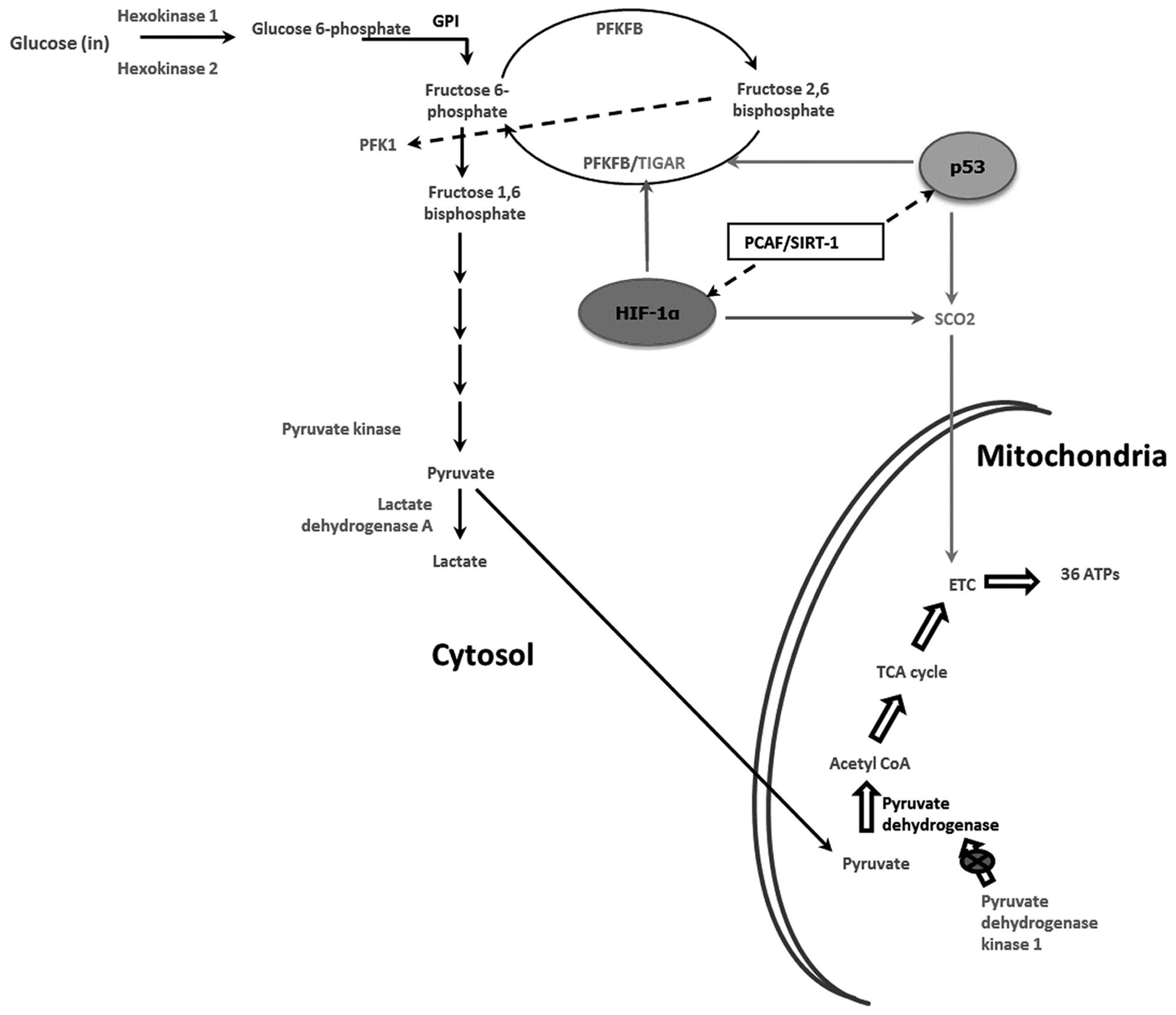 Schematic Diagram Of Glycolysis A Schematic Of The De