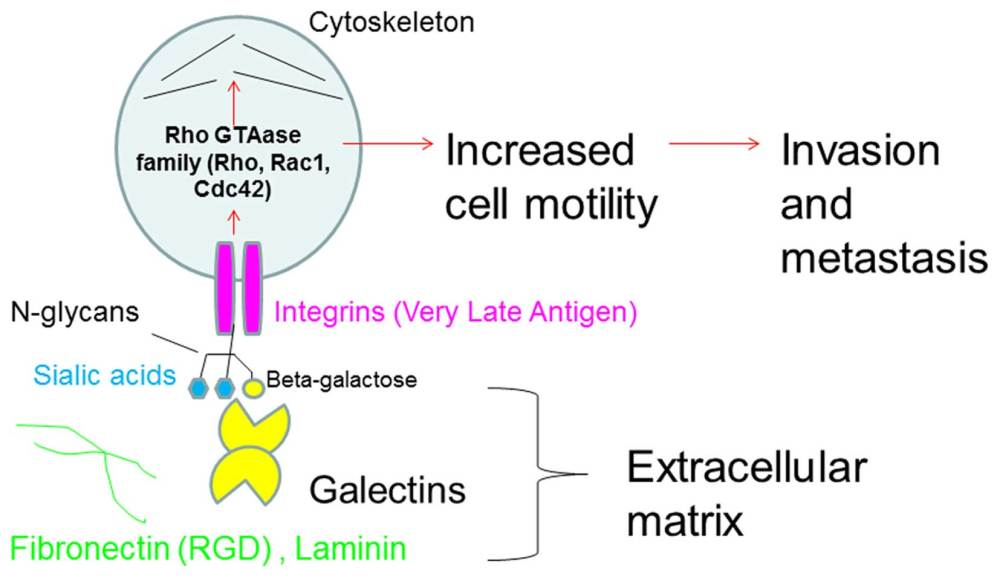 medium resolution of  of the biological roles of cell surface glycosylation in human malignant lymphoma cell adhesion to and invasion of the extracellular matrix