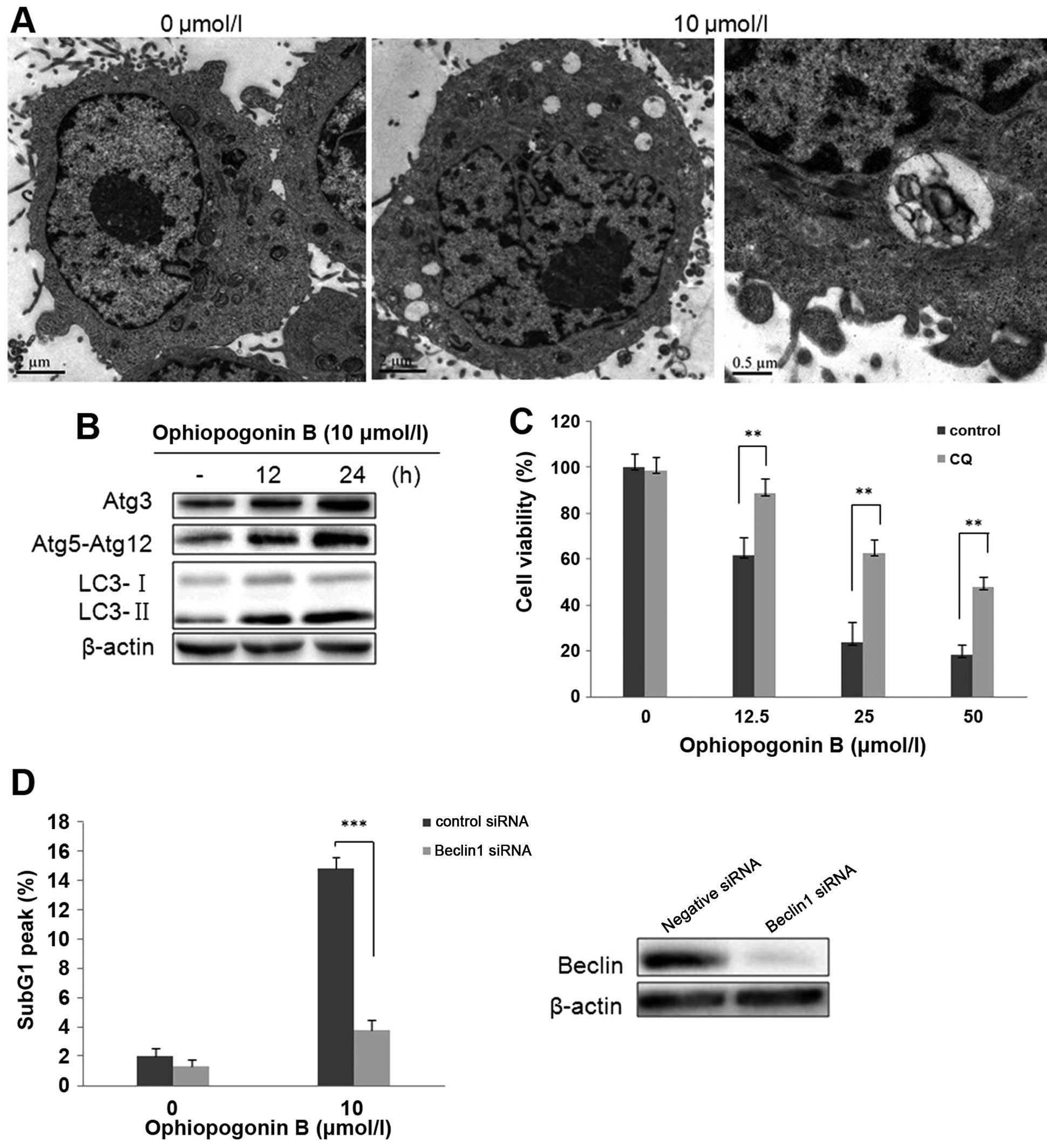 Ophiopogonin B induces apoptosis, mitotic catastrophe and