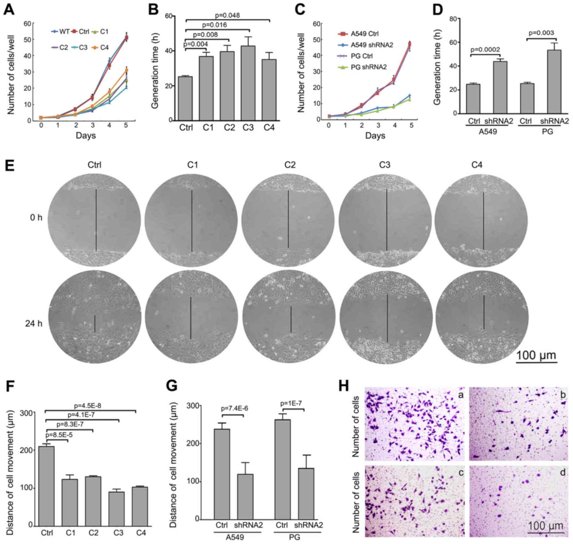 hight resolution of snail downregulates proliferation and migration behavior of lung cancer cells in vitro proliferation of stable snail sirna2 transfected clones a