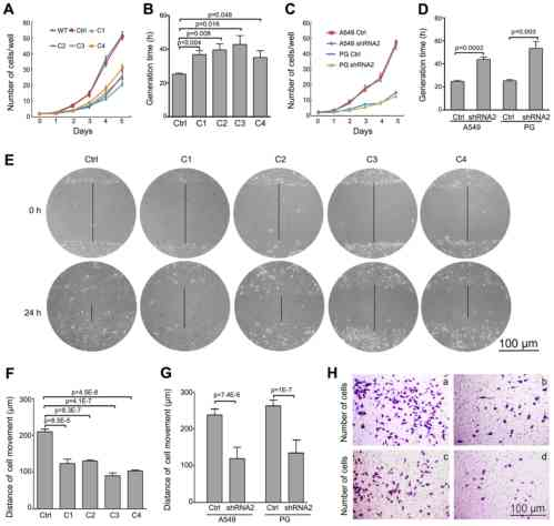 small resolution of snail downregulates proliferation and migration behavior of lung cancer cells in vitro proliferation of stable snail sirna2 transfected clones a