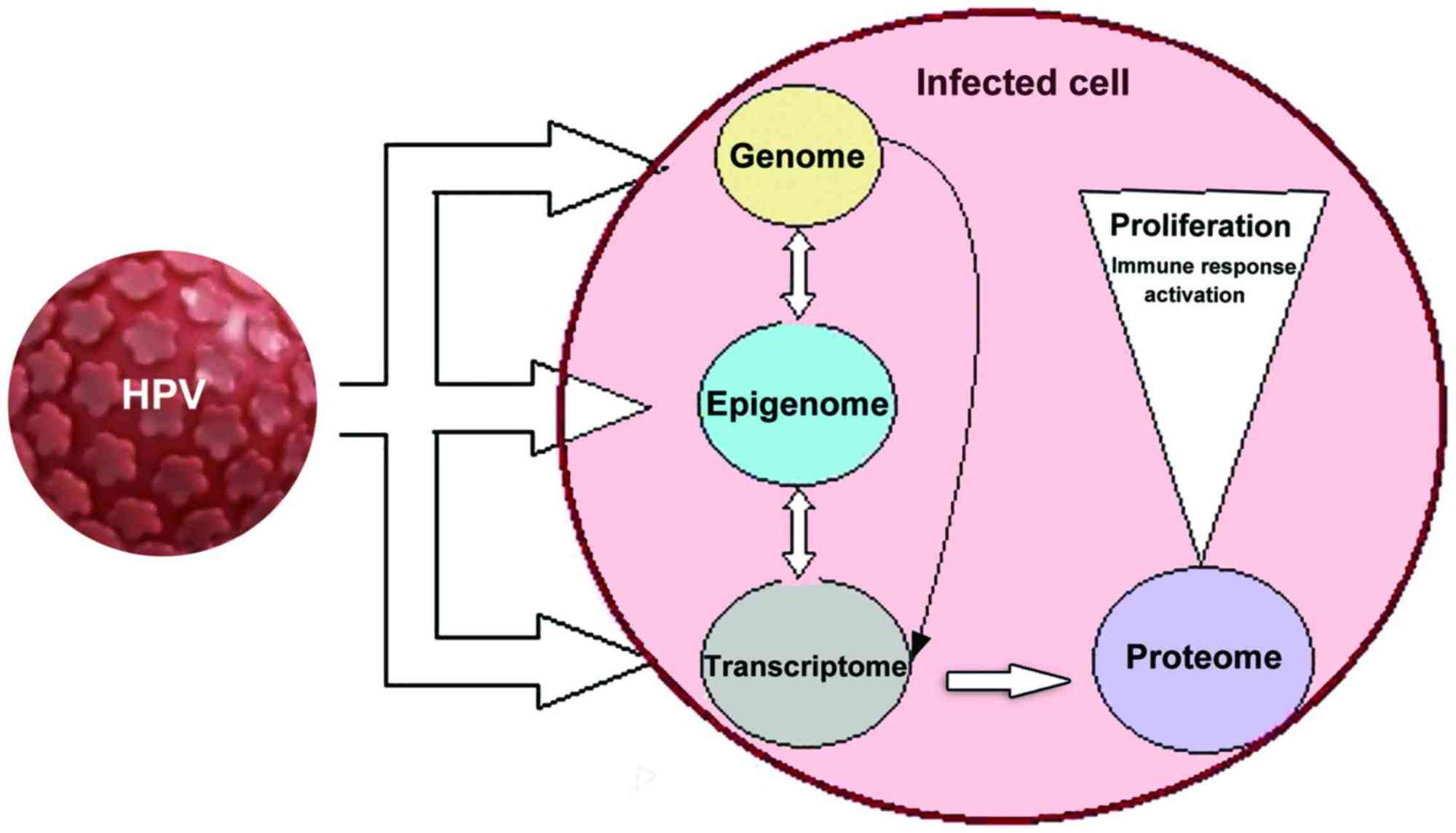hight resolution of figure 1 an hpv infected cell is subjected to multiple transformations hpv infects initially actively dividing basal epithelial cells