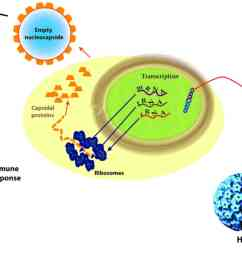 figure 2 the mechanisms of action of hpv vaccines hpv human papilloma virus mrna messenger ribonucleic acid trna transfer ribonucleic acid rrna  [ 2031 x 1207 Pixel ]