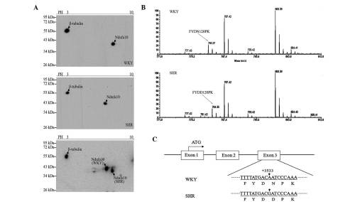 small resolution of figure 1 ndufa10 variants in a 2d western blot and maldi tof tof tandem ms a a 2d western blot of ndufa10 in the left ventricle of wky and shr rats is