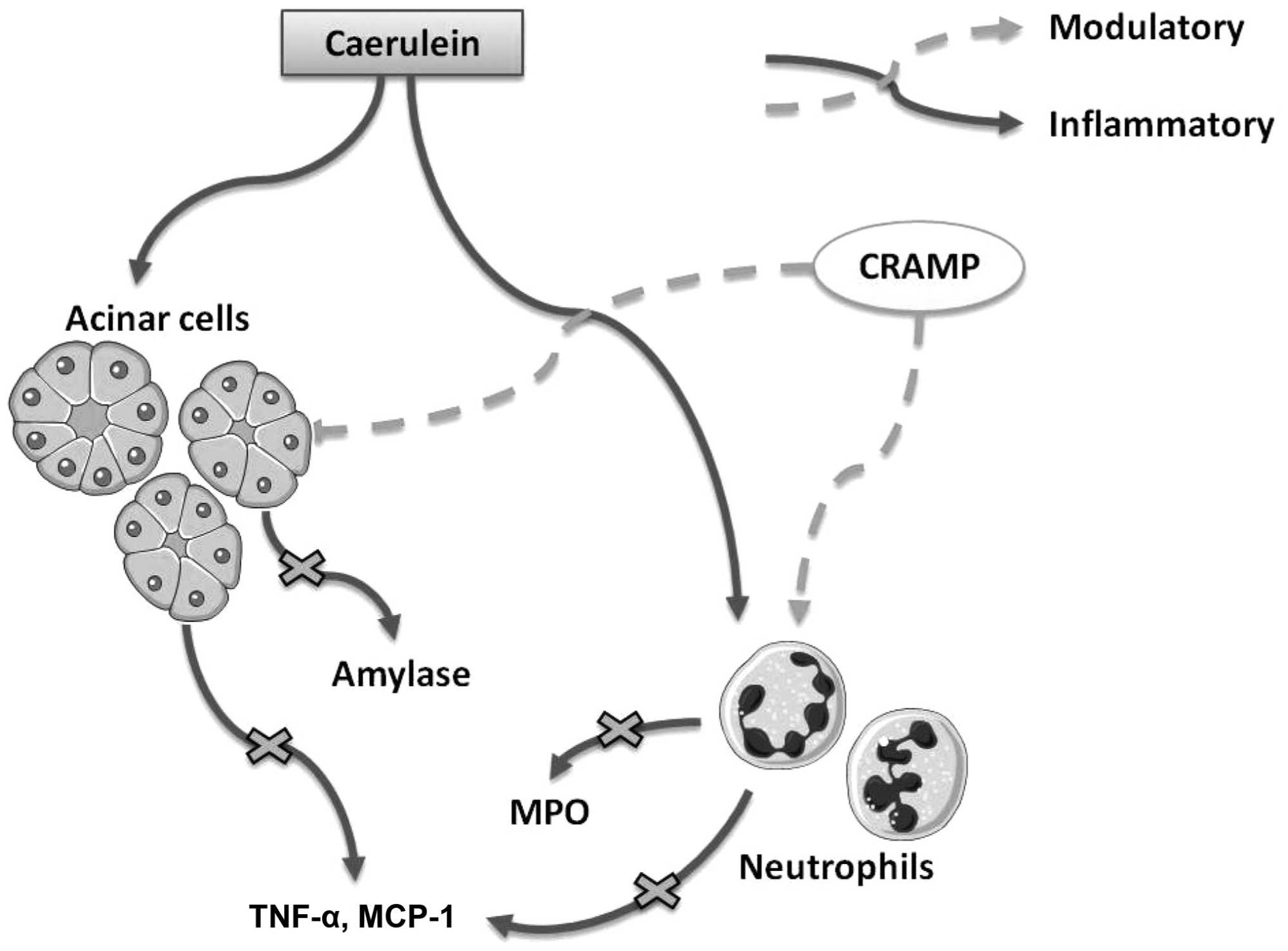 hight resolution of cramp modulates amylase release from acinar cells myeloperoxidase mpo release from neutrophils and the production of inflammatory cytokines during ap