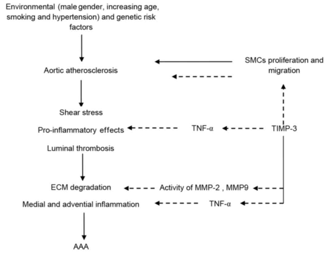 Timp 3 Suppresses The Proliferation And Migration Of Smcs From The Aortic Neck Of