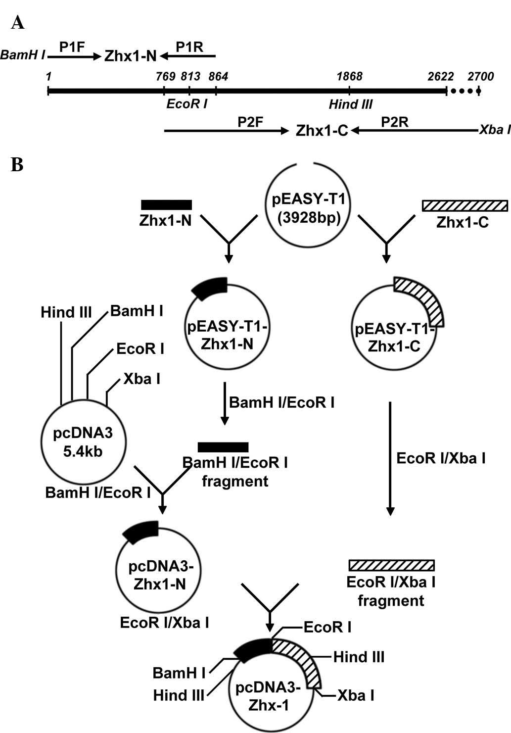 Construction Of A Recombinant Eukaryotic Human Zhx1 Gene