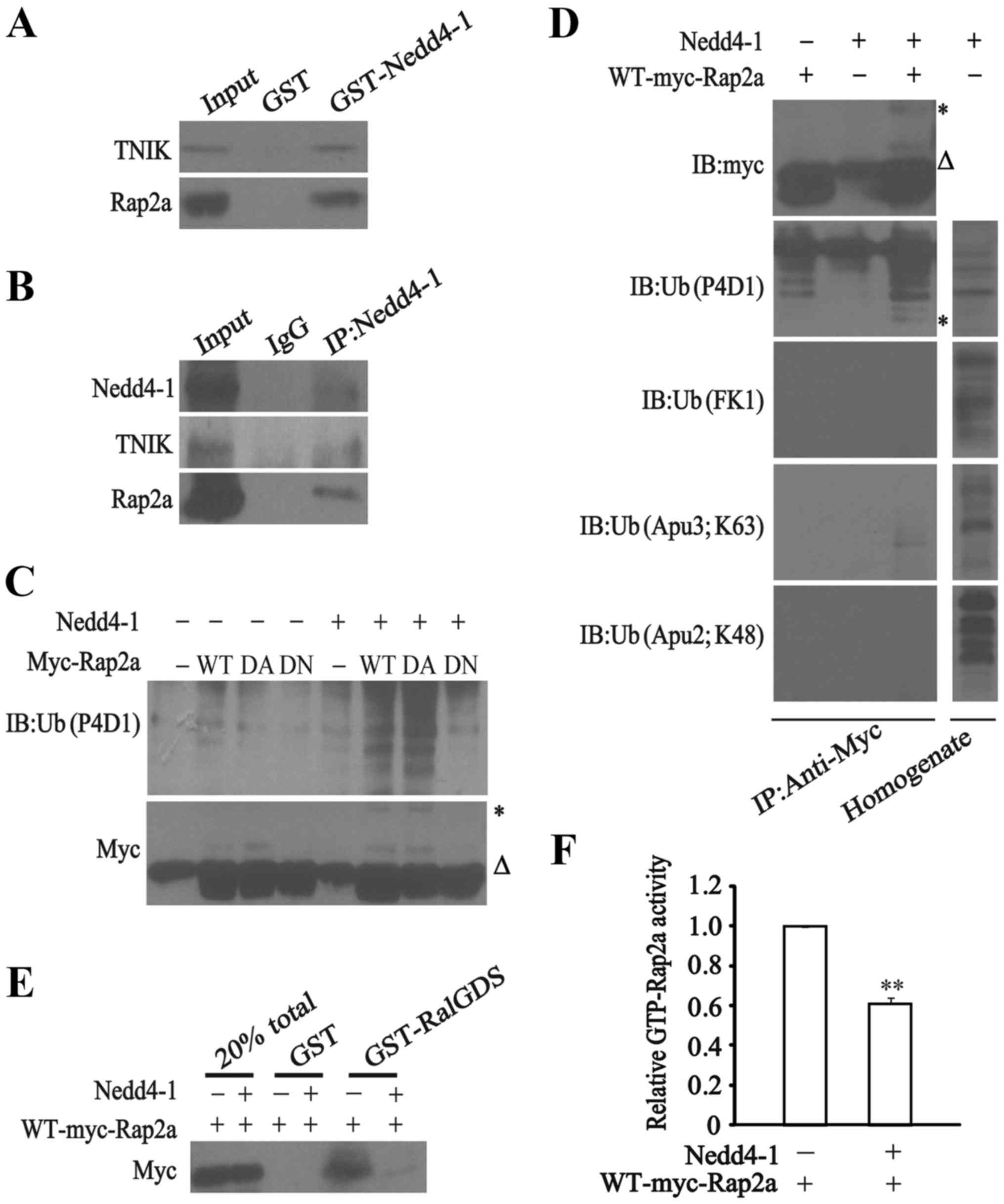 Regulation Of Glioma Migration And Invasion Via Modification Of Rap2a Activity By The Ubiquitin