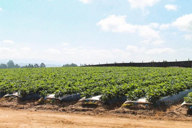 California Strawberries Farm Tour