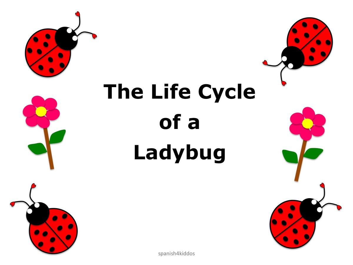 Life Cycle Ladybug1