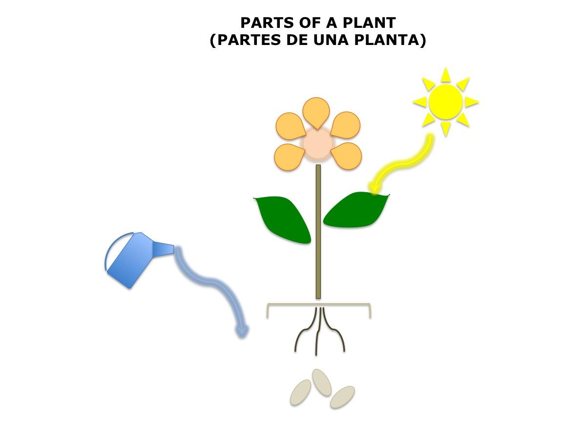 Plant Diagram No Labels  U2022 Spanish4kiddos Educational Services