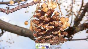 Pinecone bird-feeder hanging on tree