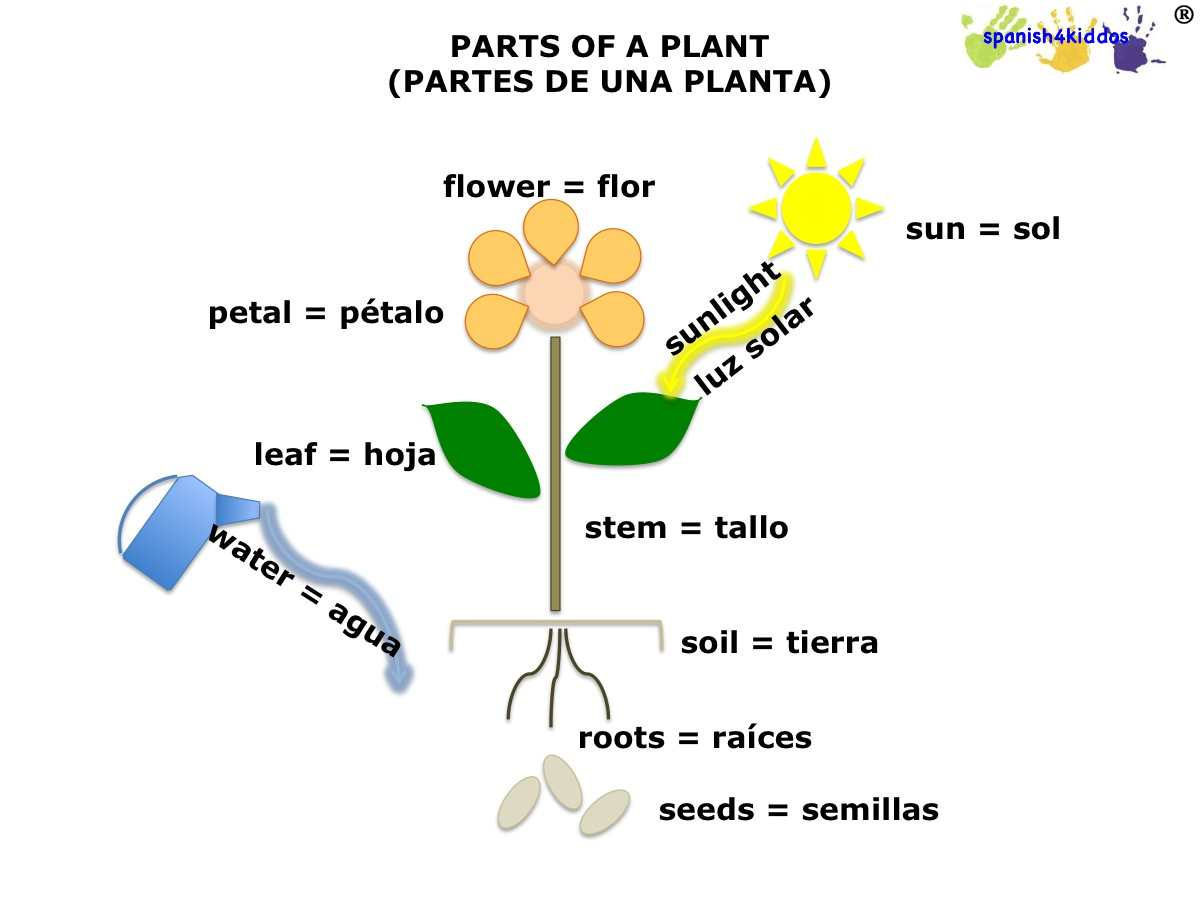 photosynthesis process diagram for 5th grade orbital beryllium spanish lesson on plants learning