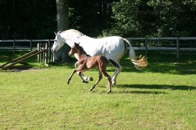 Star Andalusians Pre Stud Spanish Horse Breeders Uk