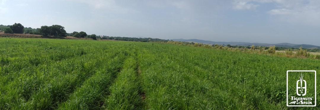 Tigernuts Traders fields in Spain