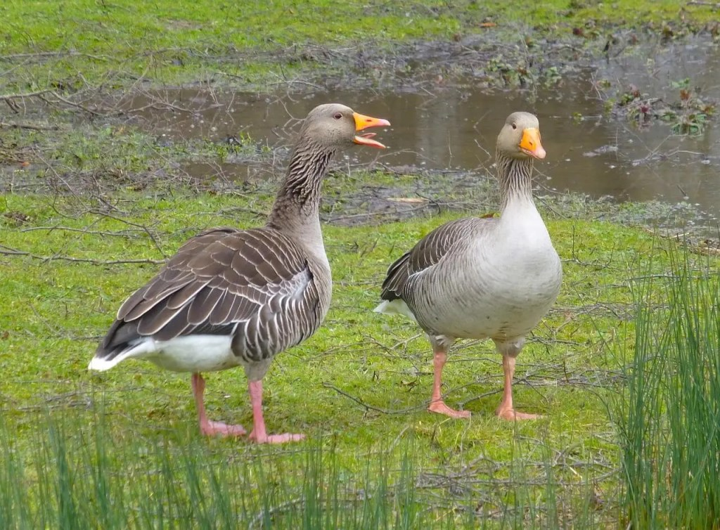 two ducks standing on the grass looking at each other