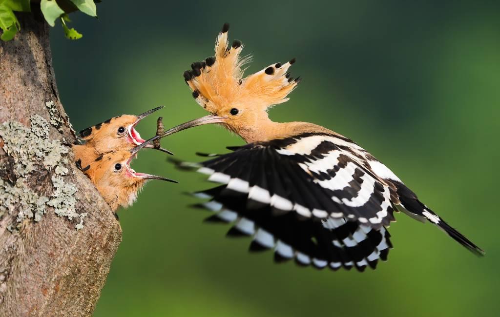 De hop of 'abudilla' vogel in Spanje