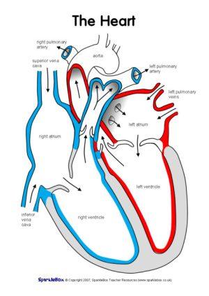 Label the Heart Worksheets (SB6634)  SparkleBox