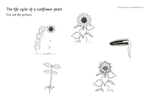 sunflower plant life cycle diagram foot pulses cut and stick sb4468 sparklebox preview