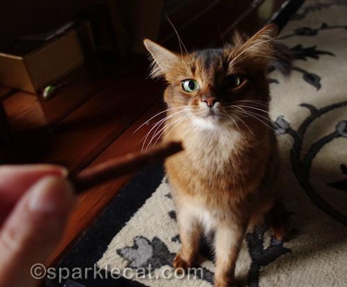 somali cat eyeing cat treat stick
