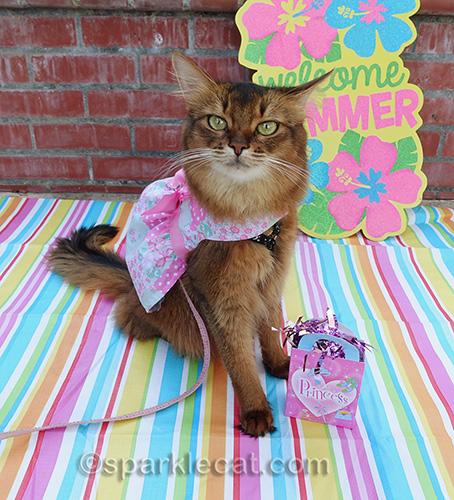 somali cat annoyed by tiny present