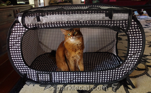 somali cat sitting new cat show kennel