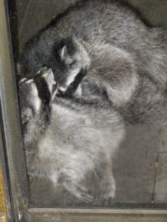 raccoon-ramble4