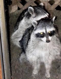 raccoons-fucking