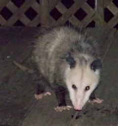 possum-closeup_1