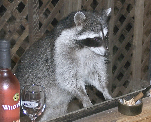 raccoon-bartender