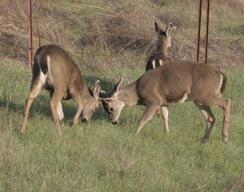 bucks-shove