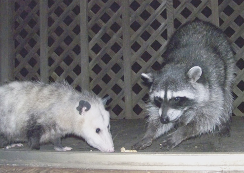 possum-eats
